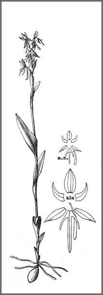 Habenaria ernesti-ulei