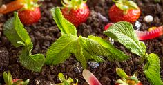 Oreo Dirt Pie- Get Into Gardening With Your Kids! This Is Dirt And Worms Like You Haven't Seen Before…