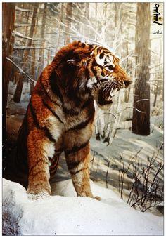 自由滿洲 Sulfan Manju ( Free  Manchuria)®: Manju Tasha (Manchuria Tiger 滿洲利亞虎)------不是東北虎!!