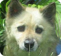 Andrew, IA - Pomeranian Mix. Meet Taylor a Dog for Adoption.