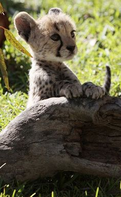 Baby cheetah with front paws on dead tree