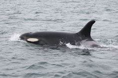 Shachi J19 is an adult female Southern Resident orca who was born in 1979. Photo taken aboard a private boat.
