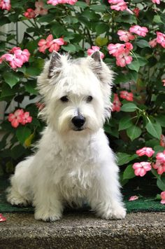 Boink is my male. He is the Father to all the puppies. He is a very easy going laid back Westie. He loves to play ball and is a great agility dogs. When ever he meets new people he rolls on his back...