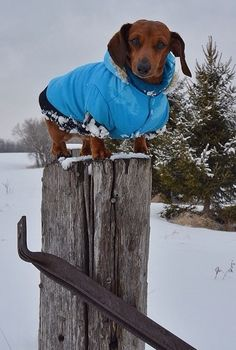 At his command post--dachsies love being high up in the air.