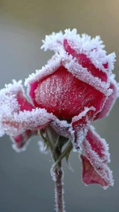 "a rose in the winter. ""Like a rose, under the April snow""."