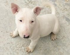 Oww! Baby Bull terrier