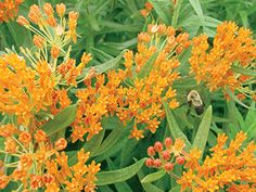 Yard and Garden: Add Butterfly Weed to Spring Landscape Plans | Iowa State University Extension and Outreach