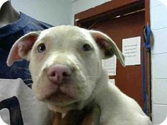 ACT QUICKLY OUT OF TIME PLEASE SHARE NOW Atlanta, GA - American Pit Bull Terrier Mix. Meet MADDY, a puppy for adoption. http://www.adoptapet.com/pet/16239501-atlanta-georgia-american-pit-bull-terrier-mix