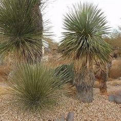 Yucca Soaptree Seeds (Yucca elata) 20+Seeds - Under The Sun Seeds - 2