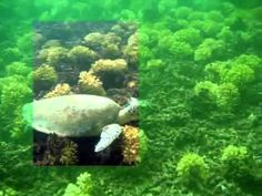 A short diving clip where a selection has been cleared with Lyynifier for iPAD. Underwater Video, Diving, Turtle, Aquarium, Ipad, Pets, Green, Youtube, Animals