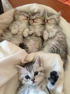 3 cute little kittens and a. Post with 318 views. 3 cute little kittens and a. Pretty Cats, Beautiful Cats, Animals Beautiful, Beautiful Family, Cute Little Kittens, Kittens Cutest, Tabby Kittens, Bengal Cats, Silver Tabby Kitten