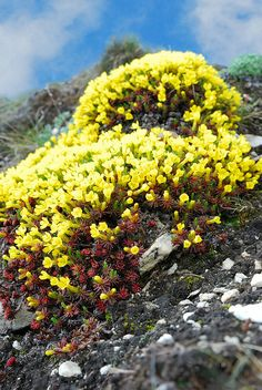 Rock Flowers, Flowers Nature, Wild Flowers, Landscape Model, Landscape Structure, Alpine Garden, Alpine Plants, Flowers Perennials, Planting Flowers