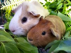 Guinea Pigs are sweet and funny little animals that make amazing sounds!