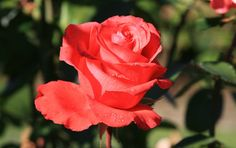 New amazing flowers pics every day, be the first to see them! Fantastic flowers will make your heart open. Easily get in a great mood and feel happy all day long! Flower Pictures, Flowers Pics, Single Red Rose, Coral Garden, Amazing Flowers, Red Roses, Bloom, Make It Yourself, Floral