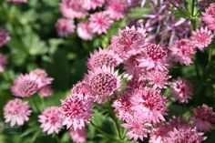 Astrantias have become garden staples in recent years. Traditionally a cottage garden favourite, they are often featured at the Chelsea Flower Show where their soft-pink, button-like blooms add interest to many different planting styles. They make first-rate cut flowers, and are noted for their long flowering season - if you continue to deadhead them regularly, they will usually keep coming well into autumn.