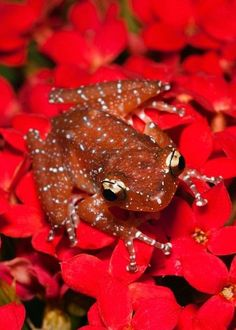 Cinnamon Tree Frog (Nyctixalus pictus) - Southeastern Asia, by Adam Jones