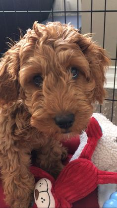 Henry the Labradoodle!