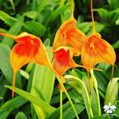 Masdevallia Hybride #Orchideen #Orchidee #Orchideengarten #orchid #orchids #orchidaceae #Dahlenburg #Wendland #Niedersachsen #Norddeutschland #Ausflugsziel #Gruppenangebote #Hamburg #Lüneburg