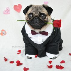 Nutello the Fashionable Pug Has an Amazingly Stylish Wardrobe - My Modern Met Pug Puppies For Adoption, Cute Pug Puppies, Cute Dogs, Cute Baby Animals, Funny Animals, Sweet Dogs, Baby Pugs, Funny Outfits, Funny Clothes