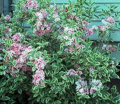 Weigela florida 'Variegata' A GUIDE TO NORTHEASTERN GARDENING: Deciduous Trees/Shrubs