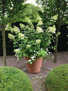 limelight hydrangea in a garden pot. in our climate, I am not sure they will s. limelight hydrangea in a garden pot. in our climate, I am not sure they will survive if left in the pot over winter.petunias are cascading down Hydrangea Potted, Limelight Hydrangea, Hydrangea Garden, Garden Shrubs, Garden Planters, Garden Landscaping, Hydrangea Paniculata, Large Garden Pots, Hydrangeas