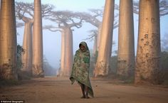 I'd love to go to Madagaskar! Near the city of Morondava, on the West coast of Madagascar, lies an ancient forest of Baobab trees. Unique to Madagascar, the endemic species is sacred to the Malagasy people