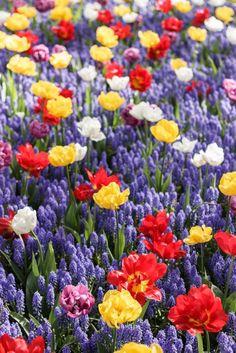 #Keukenhof #Holland #Travel #Flowers