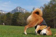 「柴犬 おもしろい 画像」の画像検索結果