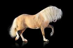 Find Palomino Welsh Mountain Stallion stock images in HD and millions of other royalty-free stock photos, illustrations and vectors in the Shutterstock collection. Welsh, Connemara, Dartmoor, New Forest, Horse Photos, Gentle Giant, Palomino, Equestrian, Pony