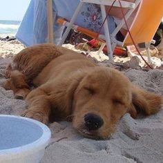 A sleepy puppy on the beach makes for a perfect Sundog :) #cute #puppy #beach #dog #Sundog #sleep #puppiesofinstagram #dogdaysofsummer #dogsofinstagram #goldensofinstagram