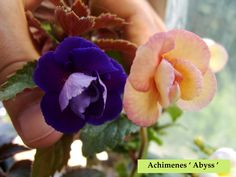 Achimenes ' Abyss ' | Another fantastic double!!!this time w… | Flickr