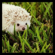 Sneaky hedgie!