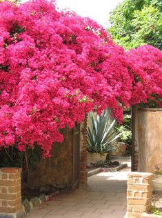 Bougainvillea-covered archway from the Mission San Juan courtyard Awesome!