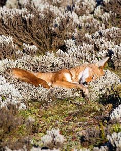 This is NOT a fox, or even a relative. An Ethiopian Wolf having a snooze! Photographed in the Bale Mountains, Ethiopia, by Will Burrard-Lucas. Nature Animals, Animals And Pets, Baby Animals, Funny Animals, Cute Animals, Wild Animals, Wild Life, Beautiful Creatures, Red Fox