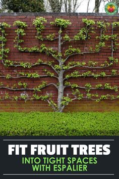 Expand your harvest by planting espalier fruit trees in your yard! These ornate patterned trees are great for small space growing. Our guide shows you the basics! pflanzen, You Can Grow Fruit Trees In Tiny Spots With This Technique! Espalier Fruit Trees, Fruit Tree Garden, Garden Trees, Grafting Fruit Trees, Bonsai Fruit Tree, Backyard Vegetable Gardens, Veg Garden, Edible Garden, Green Garden