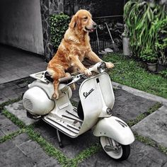 Dog on Vespa