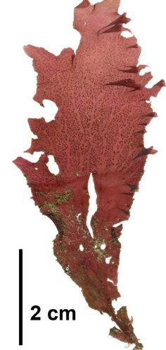 Seaweeds of Alaska. Polyneura latissima