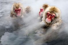 Take an intimate look at some of Japan's most popular primates with photographer Jasper Doest. Snow Monkeys Take a Hot Bath National Geographic, Animals Beautiful, Cute Animals, Wild Animals, Japanese Macaque, Types Of Monkeys, Monkey Pictures, Intimate Photos, Types Of Photography