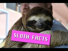 I wished for a while to visit these cute guys in Costa Rica and I finally had the chance too! Sloth Facts! Cute, Adorable and Fascinating Information!