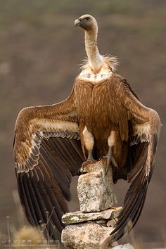 Vulture, called the Great Purifier in ancient traditions can be called upon for spiritual purification.