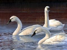 Evening Elegance - Tundra Swans, acrylic Swan Pictures, Beautiful Pictures, Jennifer Miller, Trumpeter Swan, Watercolor Flowers Tutorial, Raven Bird, Mute Swan, Watercolor Pictures, Watercolor Painting