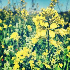 Mustard flowers by Osi Gilboa