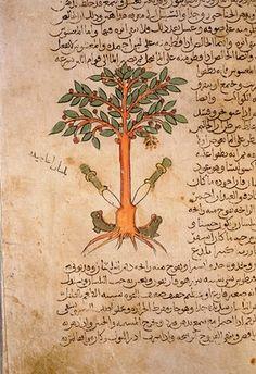 Folio 12r of the Arabic version of Dioscorides De Materia Medica