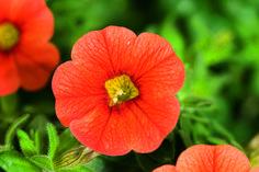 8cc5fe1409ea Calibrachoa Callie Orange from Syngenta - Year of the Calibrachoa - National  Garden Bureau Balcony Railing