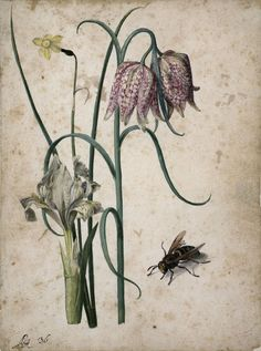 Iris, Narcissus, Fritillary, and Hornet, Georg Flegel. by Maria Sibylla Merian & Daughters: Women of Arts and Science Plant Illustration, Botanical Illustration, Sibylla Merian, Getty Museum, Watercolor Animals, Science Art, Fauna, Botanical Prints, Flower Art