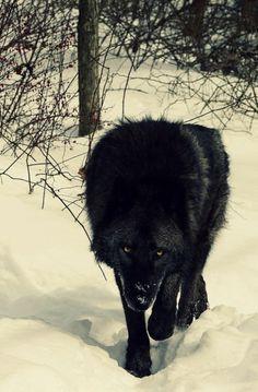 bad, really bad wolf