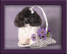 Black and white Teacup Poodle#Repin By:Pinterest++ for iPad#