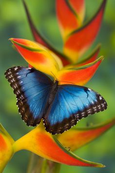 Blue Morpho Tropical Butterfly, Morpho granadensis, on Heliconia tropical flower, Photographed by:  Darrell Gulin