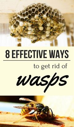 Chemical wasp control is avoidable due to the negative impact it can have on the environment. Thus, read here 10 natural methods to get rid of wasps. Bees And Wasps, Bug Control, Pest Control, Natural Wasp Repellent, Bee Repellent, Hornet Trap, Wasp Nest Removal, Getting Rid Of Bees, Cote De Pablo