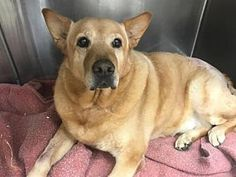 12/2017 10/2017   GOOD WITH KIDS AND DOGS! Labrador Retriever/Chow Chow Mix Dog for adoption in New York, New York - Poundcake